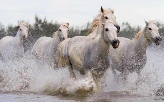 horses, white, running, лошадь, лошади, animals, кони, zoom,
