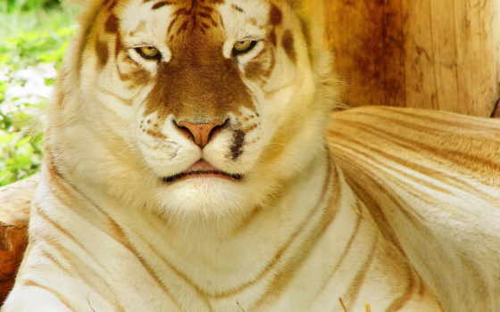 тигр, золотистый, tabby,