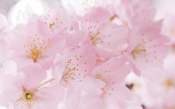 розовый, лепестки, цветение, cherry, votre, нежность, сиреневый,