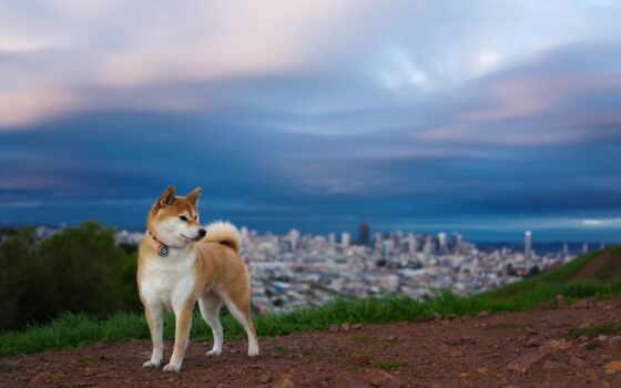собака, друг, красавчик, hd, часть, animals, собак, животных, японская, хатико, dogs, обоев, сборник, планшета, монитора, экрана, смартфона, номером, fs, смотрите,
