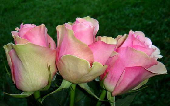 розы, цветы, розовый Фон № 56682 разрешение 2048x1536