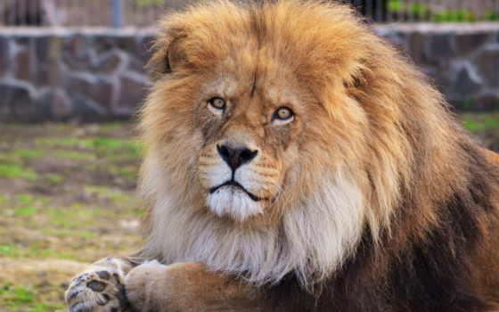 lion, морда, грива Фон № 73231 разрешение 2560x1440