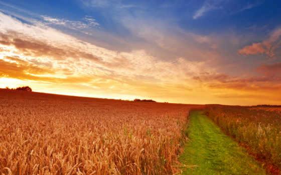 pole, колосья, пшеница, небо, трава, дорога,