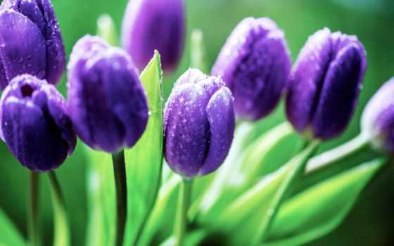 тюльпаны, каплях, росы, фиолетовые, cvety, бутоны, капли, разных, разрешениях,