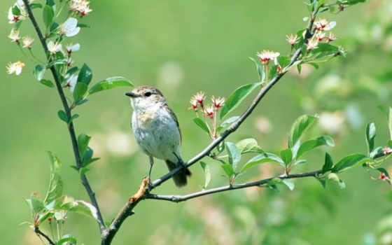 птичка, ветке, цветущей, май, разных, разрешениях, весна, сидит,