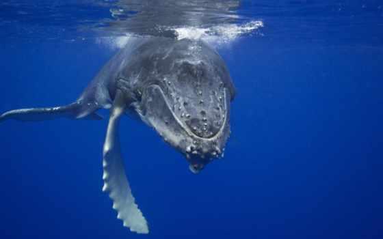 кит, humpback, море, zhivotnye, blue, кашалот, waters,