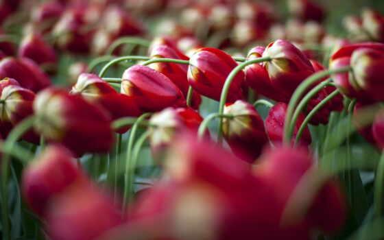 тюльпан, widescreen, abyss, wild,