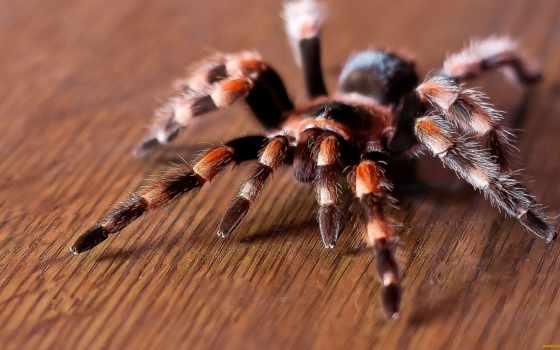 паук, птицеед, продам