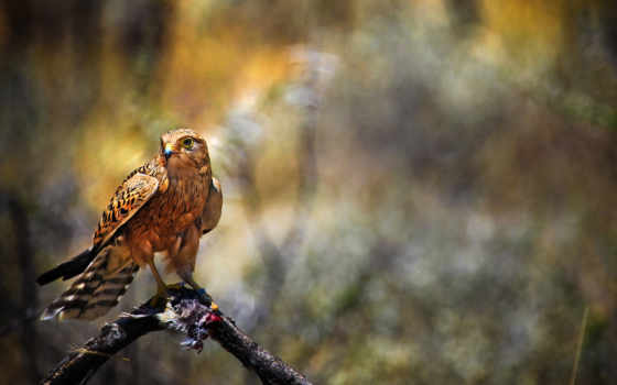 falcon, птица, browse