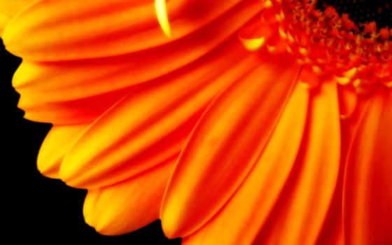 цветы, оранжевый, оранжевые