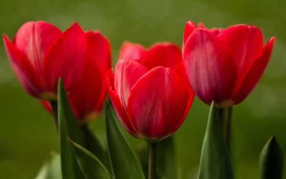 tulips, red, тюльпан