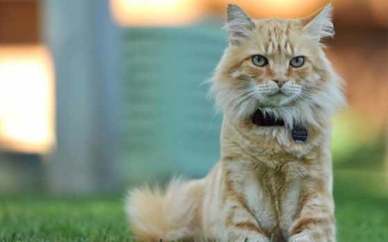gato, fondo, gatos, fondos, descargar, imagen, animales, gratis, imagenes, мар,