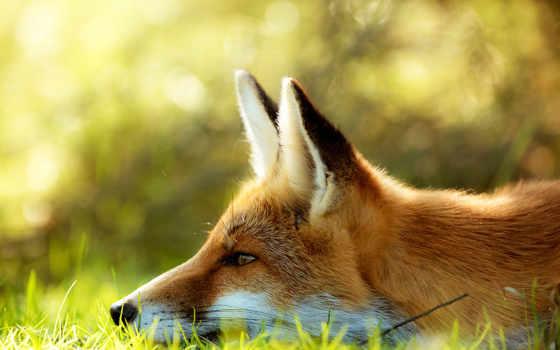 фокс, траве, лис, морда, трава, лежит, разрешениях, разных,