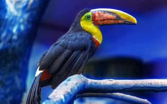 zhivotnye, птица, птицы, toucan, animals, перья, птиц, фотографий, дерево, картины,