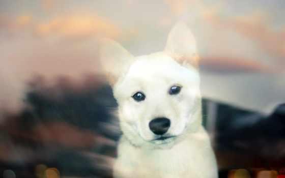 shiba, собака