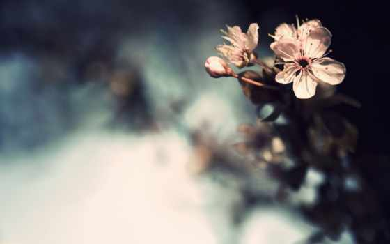 цветы, вишни, бутоны, blooming, cherry,