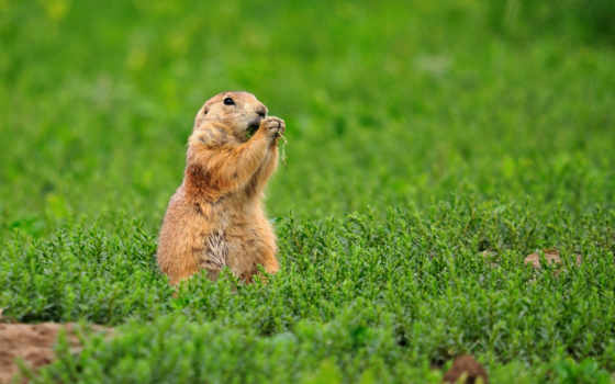суслик, трава, грызун, просмотреть, суслики, eда, зверек, бурундук,