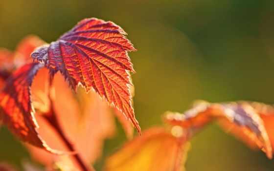 осень, широкоформатные, макро, листочек, leaf, размытие, новости,