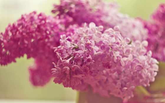 cvety, сиреневый, розовый, макро, сирени,