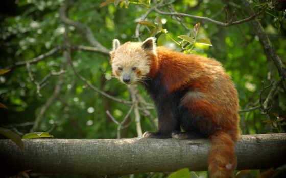 панда, рыжая, мартен