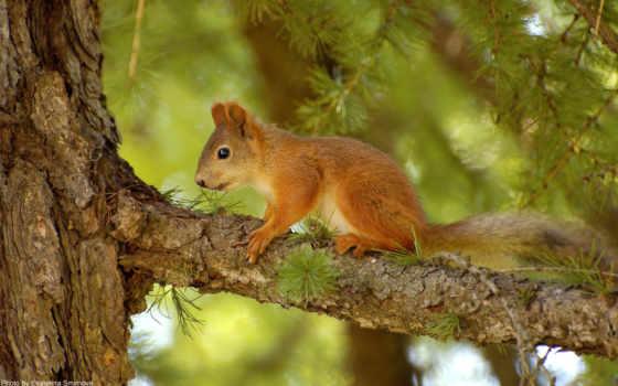 белки, ветке, zhivotnye, белки, лесу, сидит, hunting, грызуны, summer, дерево,
