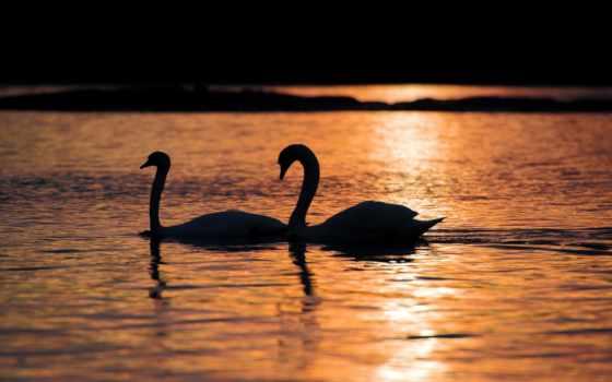 лебедь, black, картинка, картины, озеро, you, версии, плакат, купить,