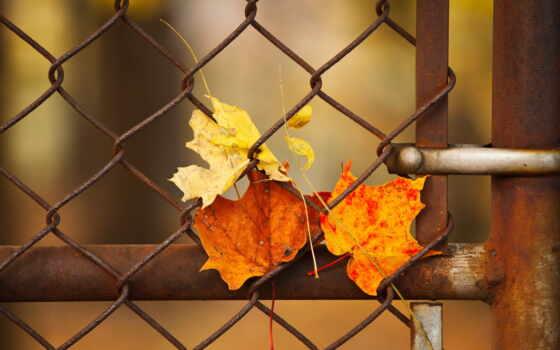 забор, сетка, free, осень, роза, цветы, fonwall, лист, narrow, хороший