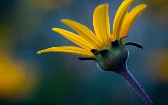 helianthus, видов, wide, one, медведь, они, height, вырасти, другие, wikipediasunflower