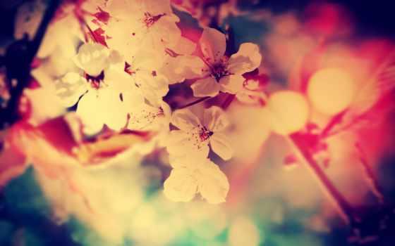 flores, цветы, rosas, white, колор, дек, red, лепестки,