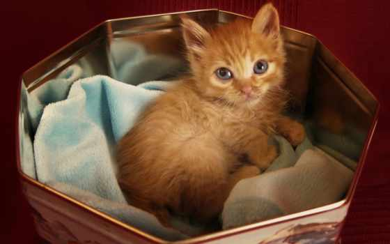 лежит, кот, red, взгляд, котенок, коробочке,