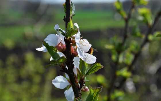 color, cherry, весна, размытость,