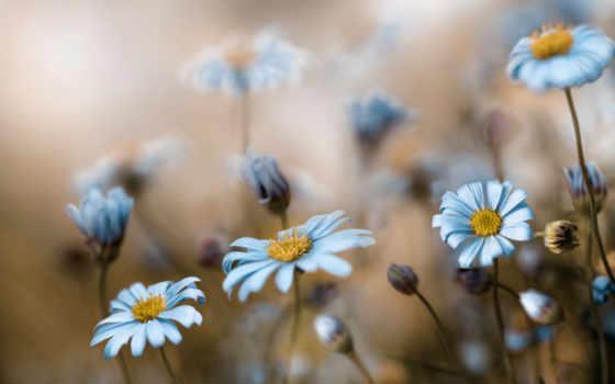 cvety, голубые, природа, fone, размытом, размытость, ромашки, цветение, луг, разрешениях, разных,