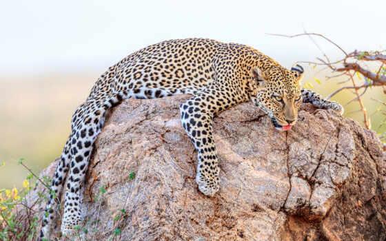 леопард, cover, animal, кот, хищник, глаза,