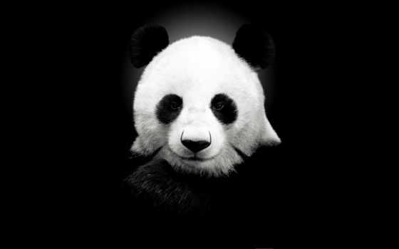 панда, панды