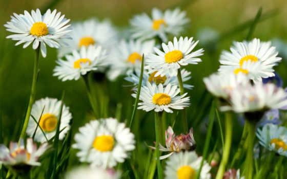 summer, летнего, ромашки, настроения, зелёный, фотографии, цветы, пост,