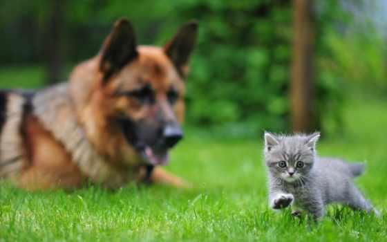 овчарка, котенок, немецкая