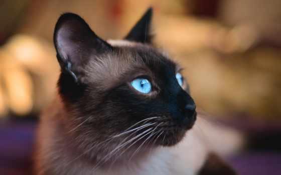 голубые, кот, свет, фотообои, tapety, фотопанно, pulpit,