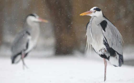 цапля, desktop, are, free, птица,