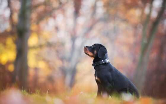 rottweiler, собака, щенок, осень, black, красивый, листва