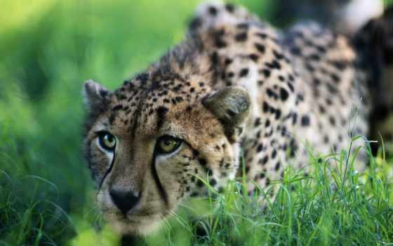 гепард, гепарды