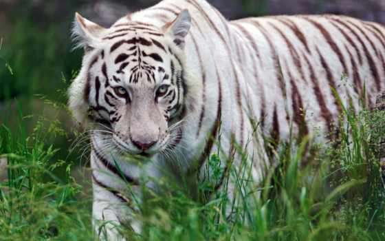 тигр, хищник Фон № 19426 разрешение 1920x1200