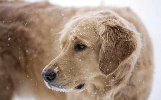 собака, снег, zima
