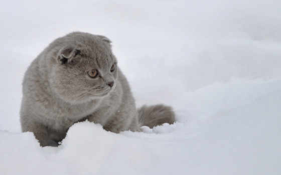вислоухий, кот, scottish, снегу,