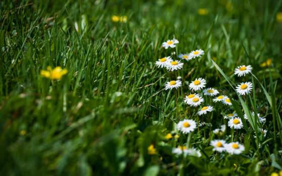 маргаритки, grass