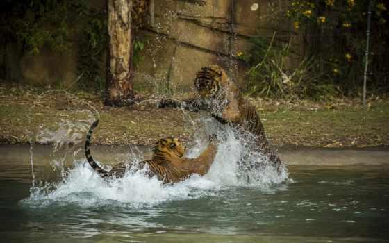 тигры, пара, кошки