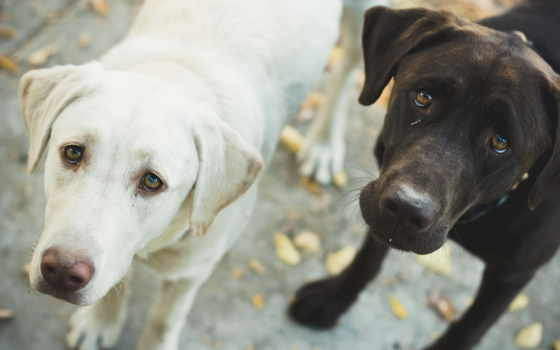 black, white, собака, dogs, has,