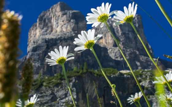 kwiaty, margerytki, tapety, pulpit, природа, cvety,