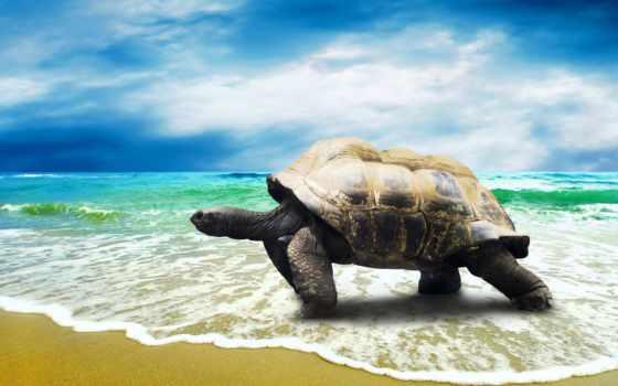 черепаха, пляж, море, биг, выгул, images, animal,