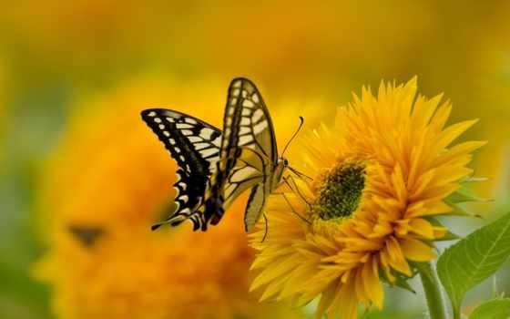 бабочка, сидит, цветке, желтом, мокром, zhivotnye, бабочки, природа,