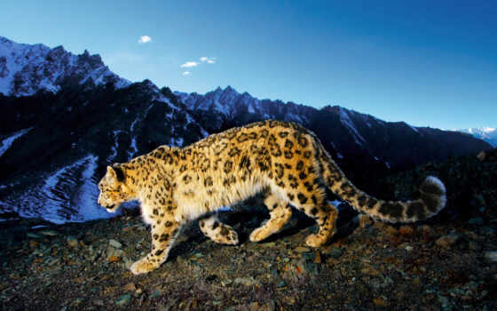 снег, animals, mountains, animal, leopards, леопард, high,